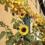 Sonnenblumen am Lummerschen Backhaus