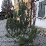 Weihnachtsbaum vorm Lummerschen Backhaus